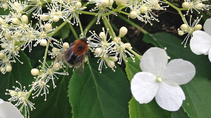 Bee feeding on a hydrangea