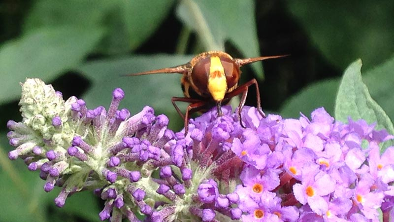 Front on view of a hornet mimic hoverfly as it gorges on the pink budleia