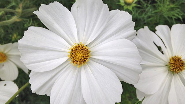 Eleganr white petals surround a bright yellow centre