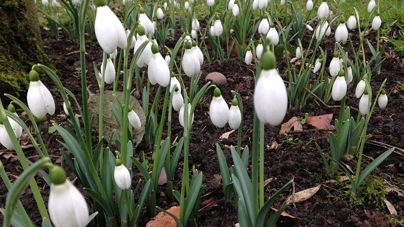 A dense bed of snowdrops