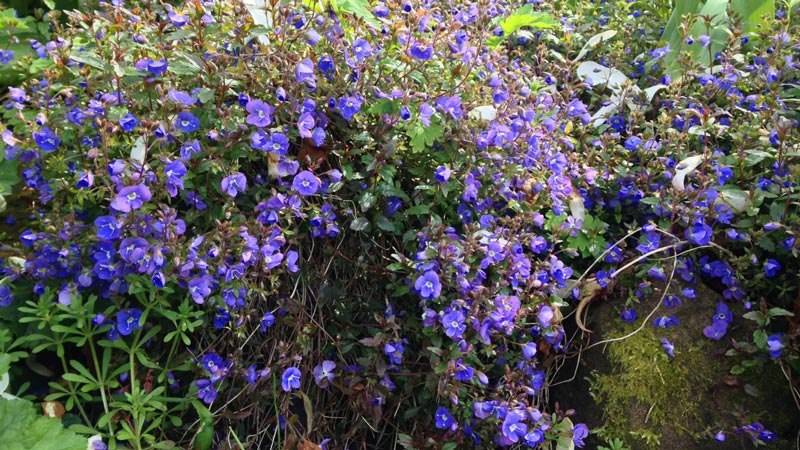 A host of small blue flowerheads form this striking bush