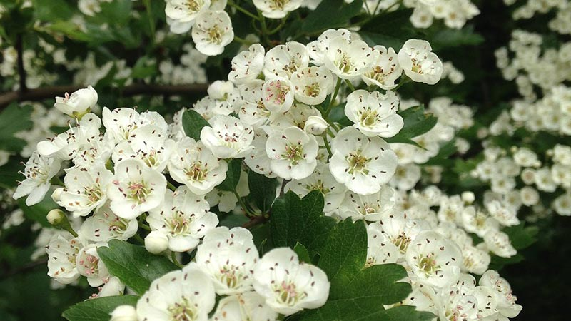 Billowing white May blossom peppers the hawthorn's lush green foliage