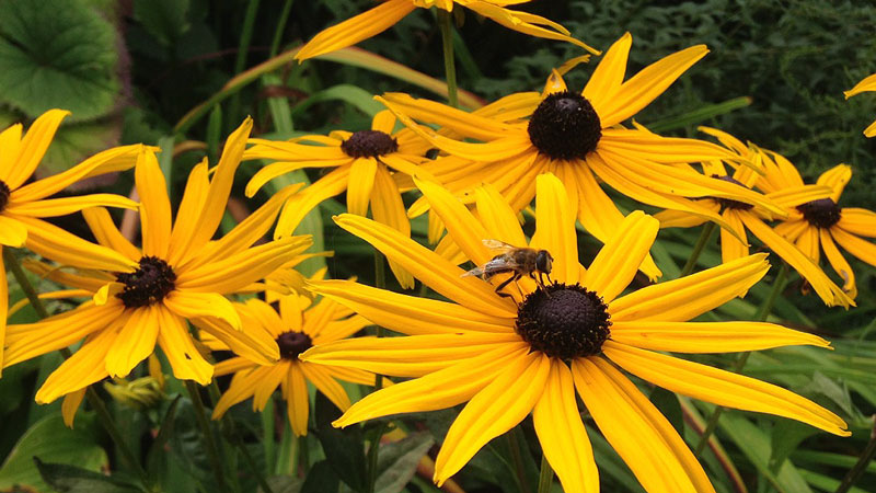 A bank of yellow rudbeckii